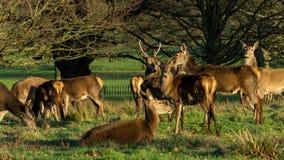 Cervi a Richmond Park fotografie stock