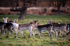 Cervi in Richmond Park London fotografie stock libere da diritti