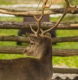 Cervi Ritratto dei cervi del Fawn Whitetail Buck Deer Portrait Fotografia Stock