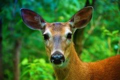 Cervi rossi Fotografia Stock