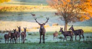 Cervi rossi del maschio che proteggono i cervi femminili fotografie stock libere da diritti