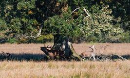 Cervi rossi del maschio e giovane daina sotto un albero fotografia stock