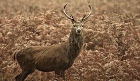 Cervi rossi della sosta di Richmond di inverno, Londra Regno Unito immagini stock