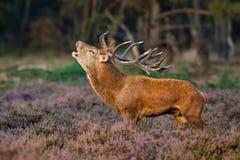Cervi rossi durante la stagione di accoppiamento Fotografia Stock