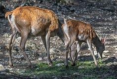 Cervi rossi europei Fotografie Stock