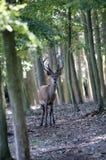Cervi rossi in Inghilterra Immagini Stock
