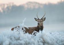 Cervi rossi in inverno Fotografie Stock Libere da Diritti