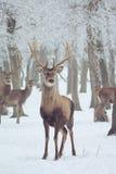Cervi rossi in inverno Fotografia Stock Libera da Diritti