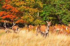 Cervi rossi in Richmond Park immagine stock libera da diritti