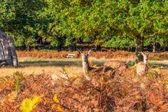 Cervi rossi in Richmond Park fotografia stock