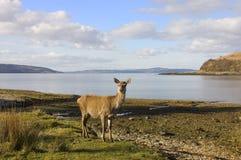 Cervi rossi scozzesi posteriori al puntello di mare Immagini Stock Libere da Diritti