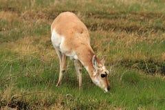 Cervi sani del pronghorn Fotografia Stock Libera da Diritti