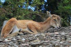 Cervi selvaggi del bambino Fotografia Stock Libera da Diritti