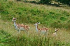 Cervi selvaggi del fawn Fotografia Stock