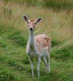 Cervi selvaggi del fawn Fotografia Stock Libera da Diritti
