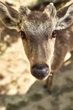 Cervi selvaggi di Nara Park, Giappone immagini stock libere da diritti