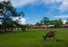 Cervi selvaggi nel cittadino di Phu Kradueng Fotografia Stock Libera da Diritti