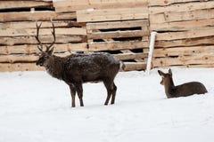 Cervi selvaggi sui precedenti della neve Immagini Stock
