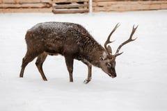 Cervi selvaggi sui precedenti della neve Fotografia Stock Libera da Diritti