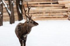 Cervi selvaggi sui precedenti della neve Immagine Stock Libera da Diritti