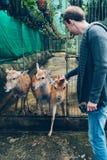 Cervi senza corni in una gabbia Fotografia Stock Libera da Diritti