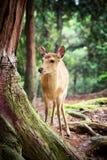 Cervi Sika in Nara Park Immagine Stock Libera da Diritti