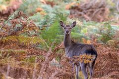 Cervi Sika nel bello terreno boscoso britannico di autunno Immagine Stock Libera da Diritti
