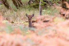 Cervi Sika nel bello terreno boscoso britannico di autunno Fotografia Stock Libera da Diritti