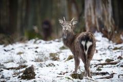 Cervi Sika nella foresta di Europa immagine stock libera da diritti