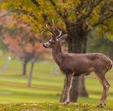 Cervi su un campo da golf nell'autunno Fotografia Stock Libera da Diritti