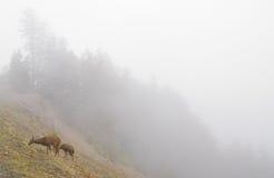Cervi su un fianco di una montagna nebbioso fotografia stock
