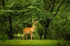 Cervi su una priorità bassa verde fertile Fotografie Stock