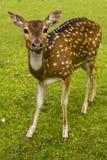 Cervi sull'erba Fotografie Stock