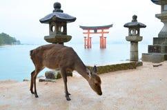 Cervi sull'isola di Miyajima Fotografie Stock Libere da Diritti