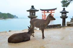 Cervi sull'isola di Miyajima Immagine Stock Libera da Diritti
