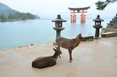 Cervi sull'isola di Miyajima Fotografia Stock