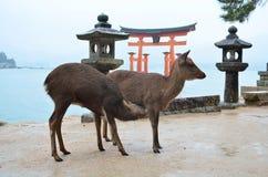 Cervi sull'isola di Miyajima Fotografia Stock Libera da Diritti