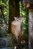 Cervi in tempio di Todaiji Fotografia Stock Libera da Diritti