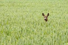 Cervi in un campo Immagine Stock