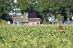 Cervi in un giacimento della patata Fotografie Stock