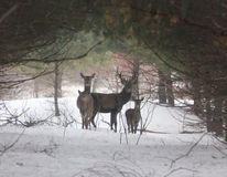 Cervi in una foresta Fotografie Stock Libere da Diritti