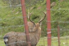 Cervi in una recinzione Fotografia Stock Libera da Diritti