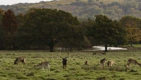 Cervi in una scena della foresta Fotografia Stock