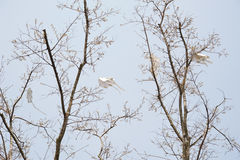 Cervi volanti di volo Fotografia Stock Libera da Diritti