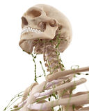 The cervical lymph nodes Stock Photo