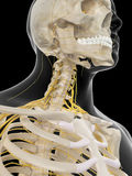 The cervical nerves Stock Image