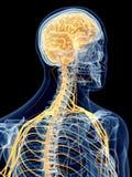 The cervical nerves royalty free illustration
