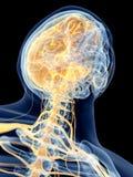 The cervical nerves stock illustration