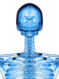 The cervical spine. Accurate medical illustration of the cervical spine Stock Photos