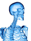 The cervical spine. Accurate medical illustration of the cervical spine Stock Images